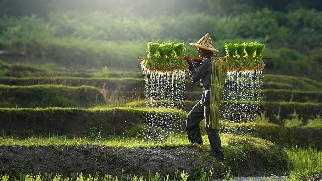 吃了一辈子大米,你还在相信水稻种水里是因为喜欢水?