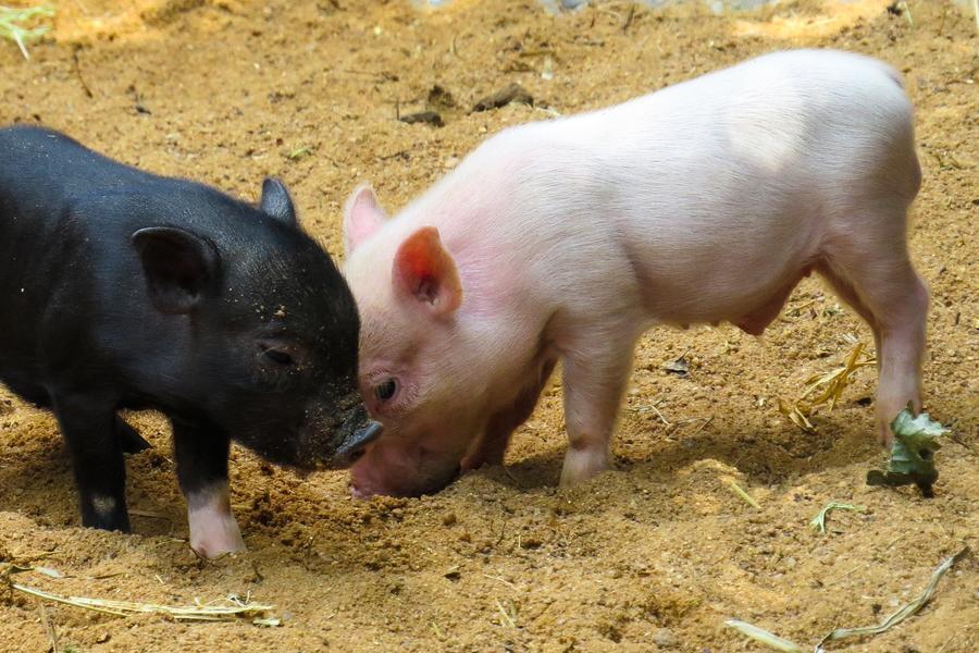 养猪到底有多赚钱?