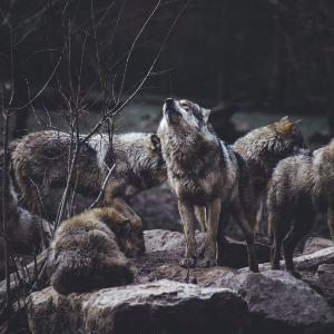 """为什么""""狼性文化""""里,狼越来越少,狗却越来越多?"""