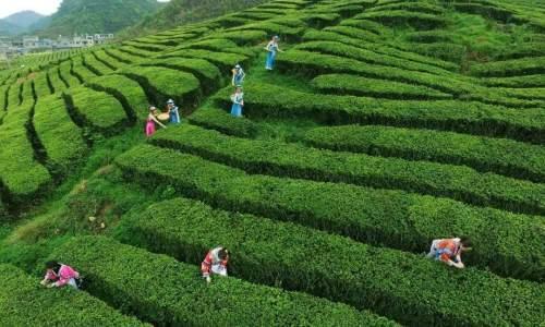 贵州茶产业发展后来居上