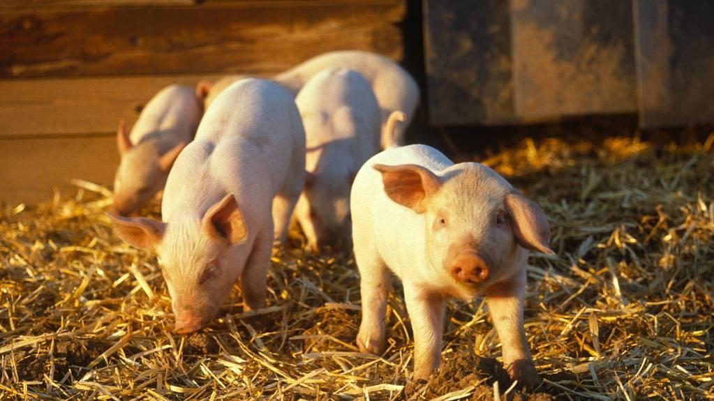 创业经:如何科学养猪