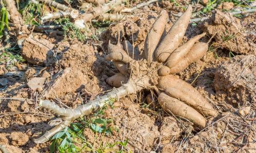 """中国热科院选育新品种 小木薯长出""""科技芯"""""""